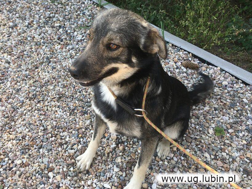 Piesek znaleziony w Miłoradzicach szuka domu