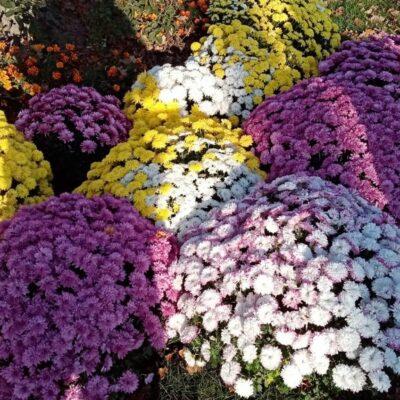 Przedszkole otrzymało 140 kolorowych chryzantem.