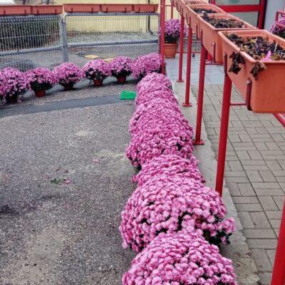 Kwiaty w kolorze wrzosu przy wejściu do Klubu Dziecięcego w Krzeczynie Wielkim.