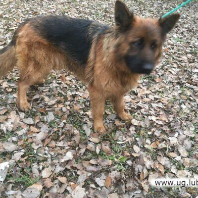 Pies Odnaleziony w Dąbrowie Górnej