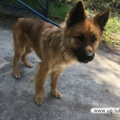 Pies, mieszaniec o umaszczeniu brązowym, w oszacowanym wieku ok. 2 lat.