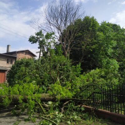 zwalone drzewo2