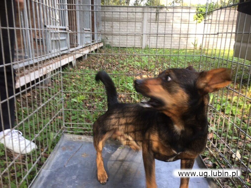 Pies odnaleziony w Osieku